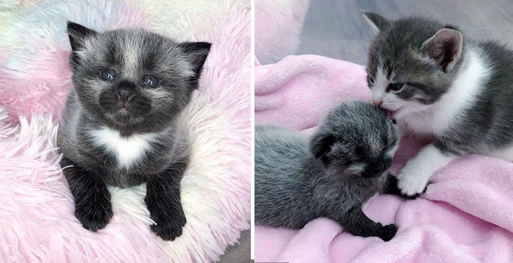 100/% Japanese Cotton Fabric Sevenberry Kitty Cats Kittens Brick Wall Pet Animal