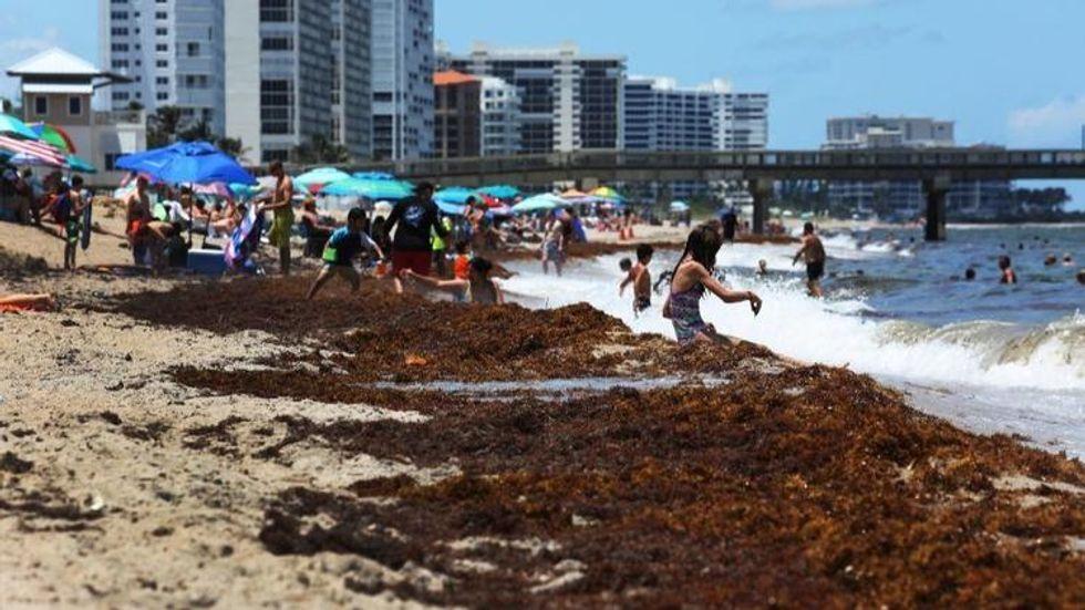 Seaweed assaults South Florida beaches