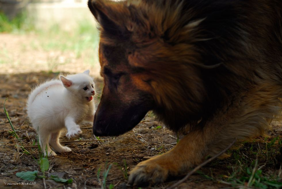 White Kitten and German Shepherd Dog