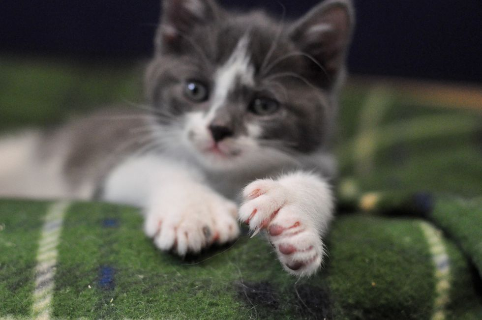 Kitten With Many Toes