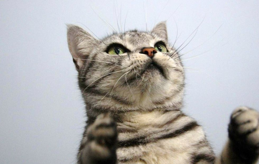 Saki the Frisky Cat