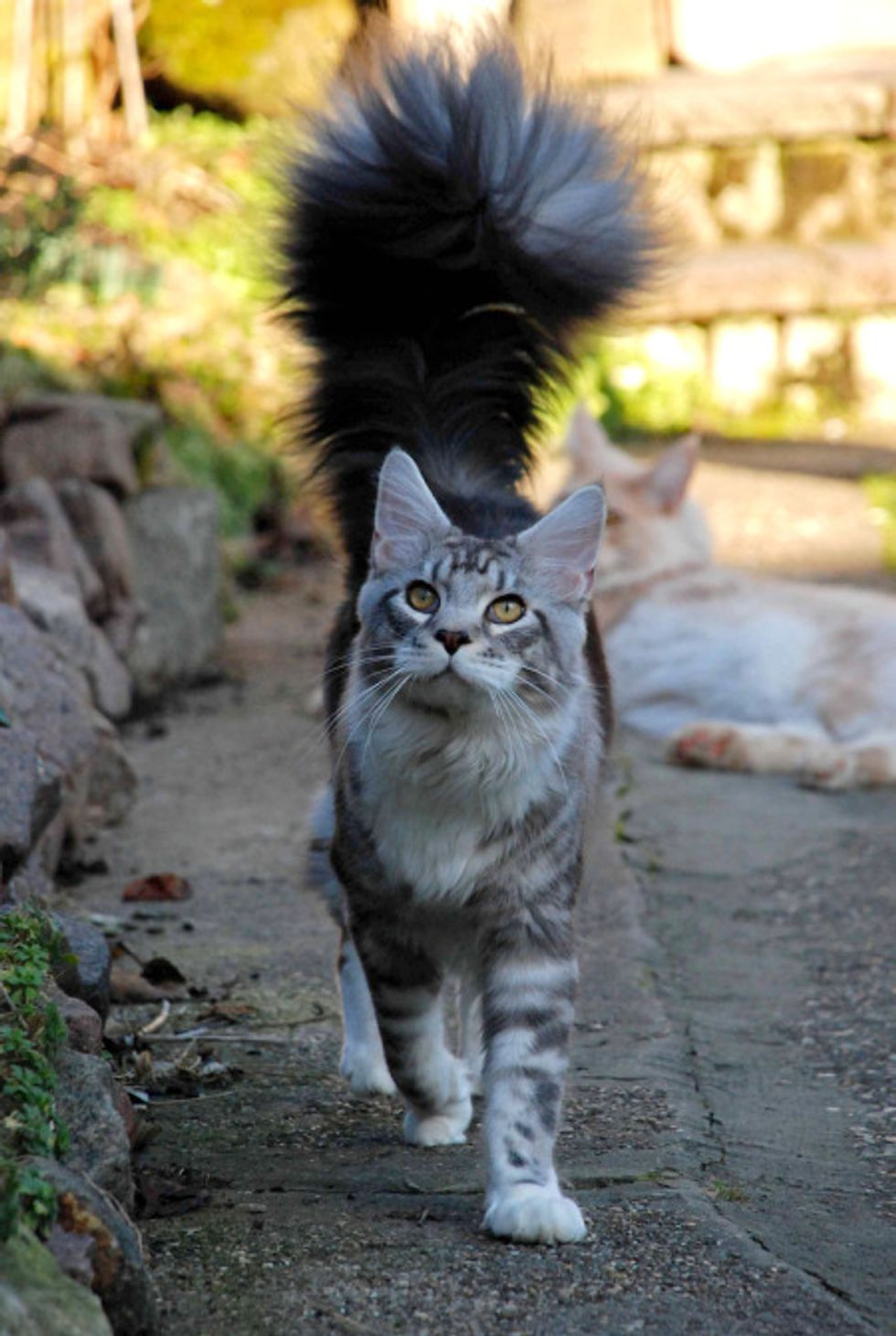 Cat with a Magnificent Tail