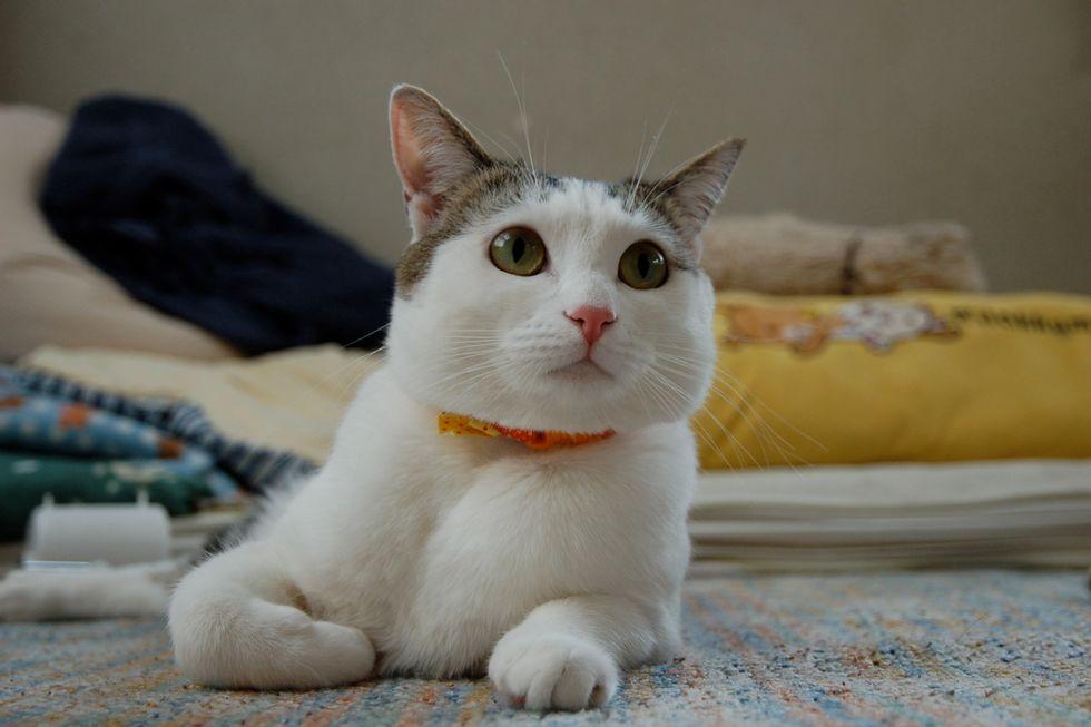 Konatsu the Lovely Cat