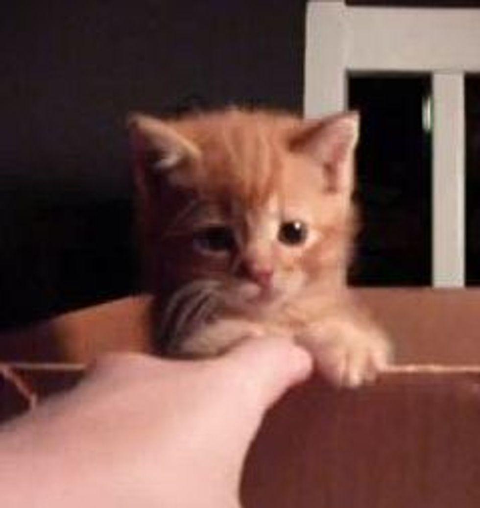 Feisty Little Ginger Kitten