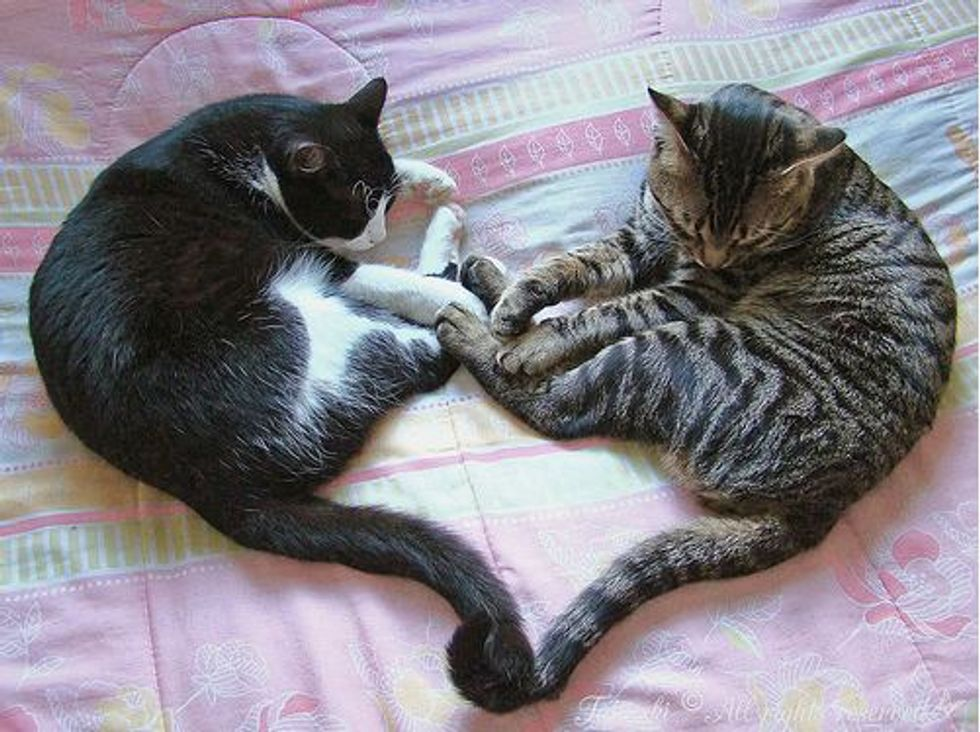 Kitty the Tuxedo Rescued Cat