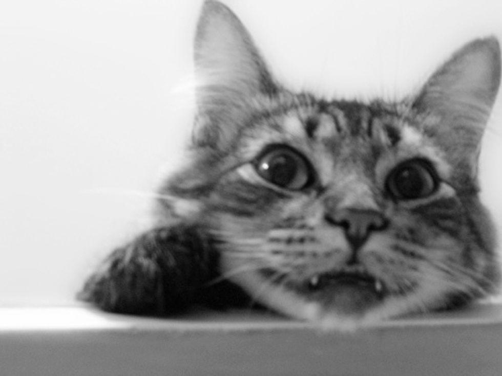 Toji the Playful Tabby Cat