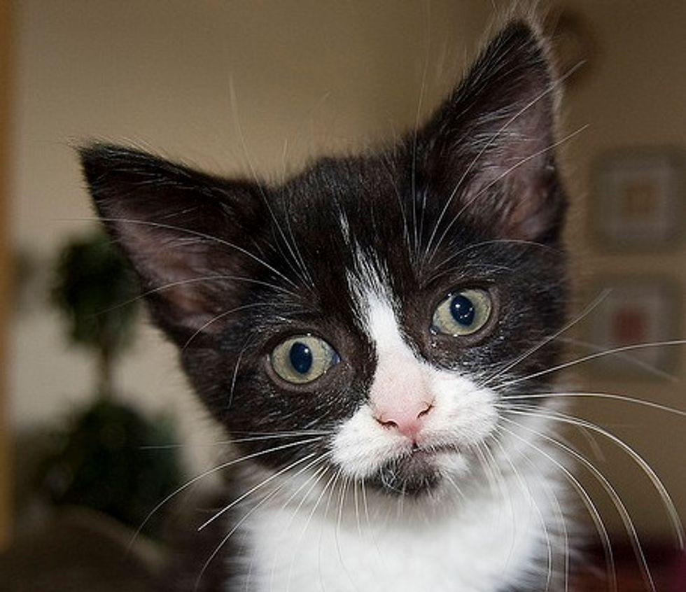 Coraline the Tuxedo Kitten