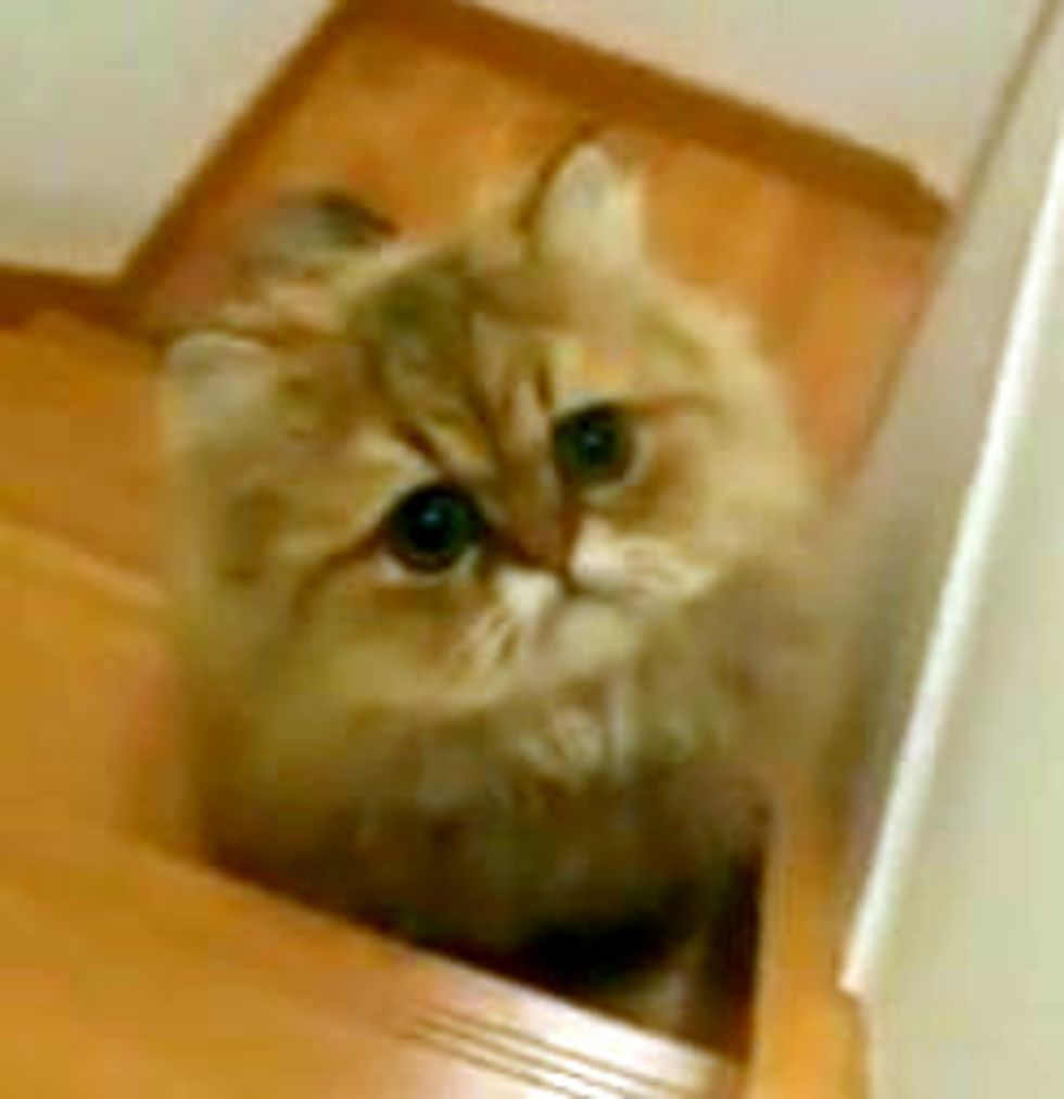 Fluffy Kitty Plays Chasing Game