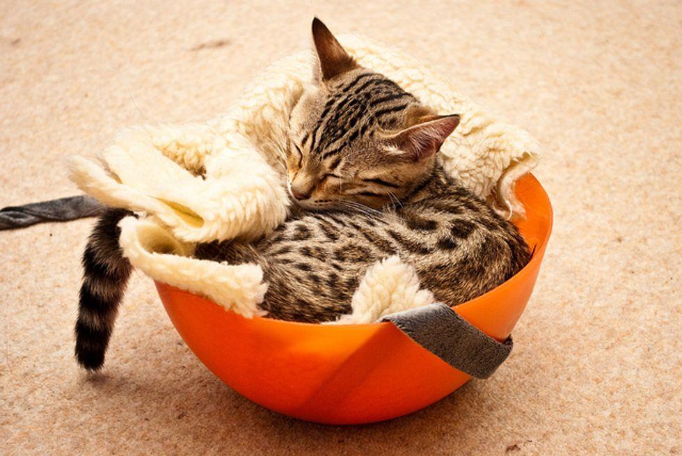Toshi, the Energetic Kitty