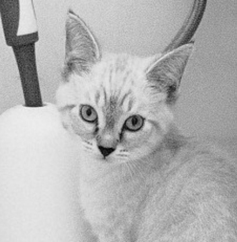 Rescued Siamese Kitten Steve Nash