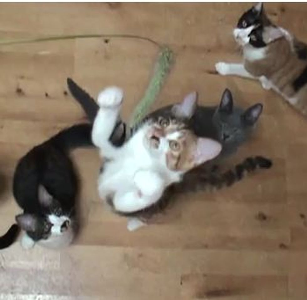 Kitties Fascinated by Feather Toy (Slow-Mo)