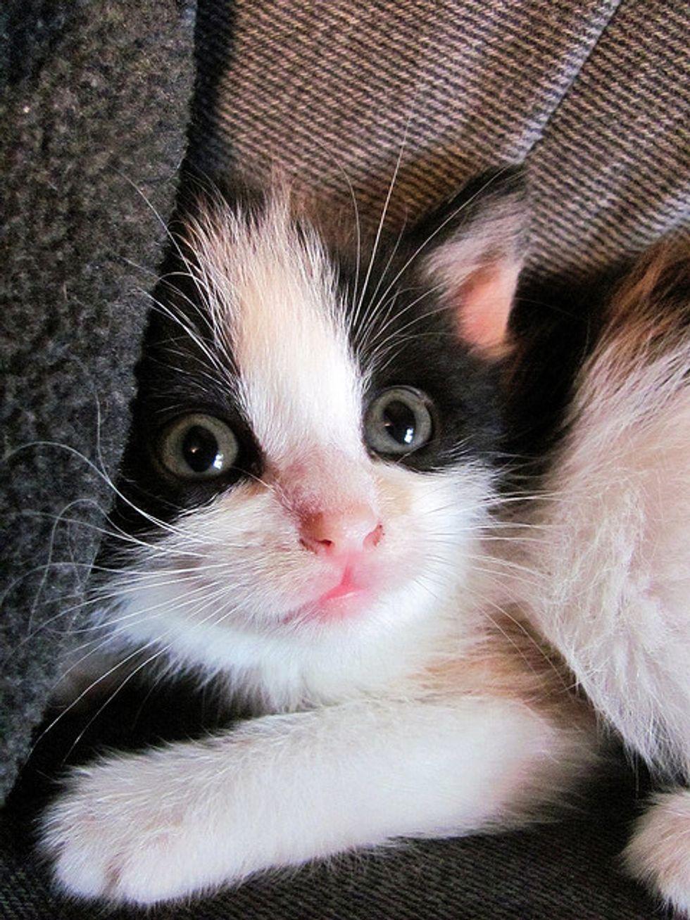 Story of Kiwi the Little Calico Cat