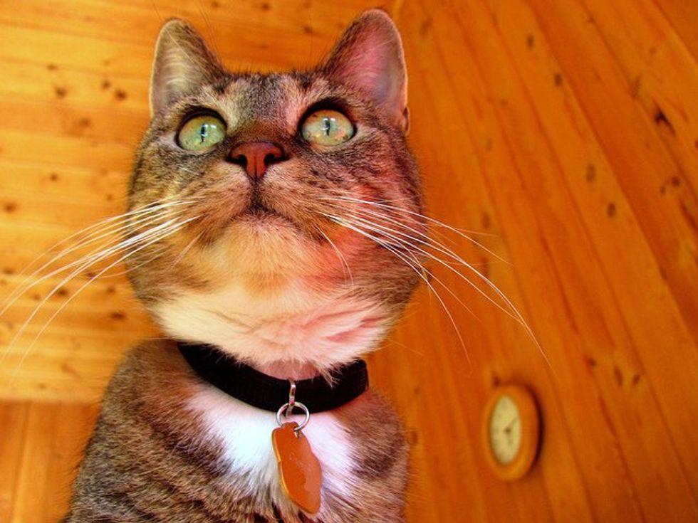 Cumin, a Therapy Cat