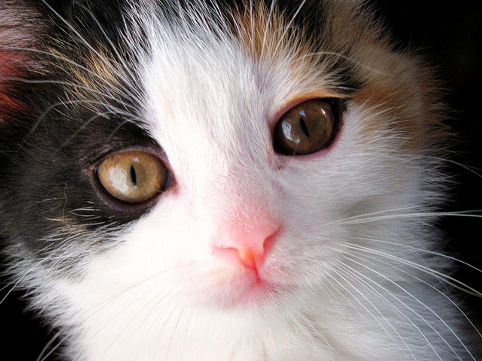 Gizmo the Shy Kitty