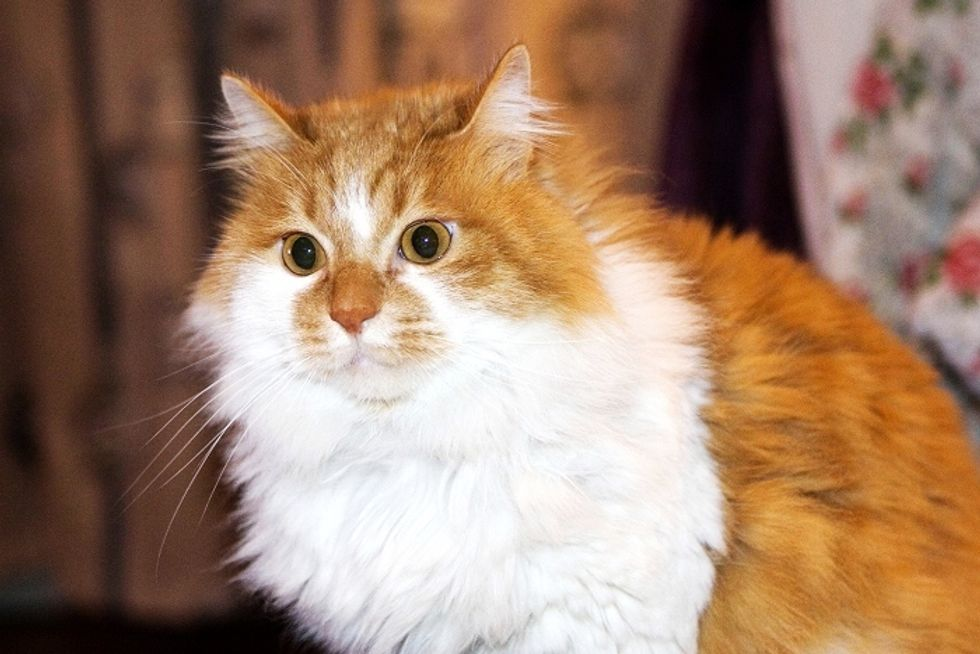 Pudgy the Fluffy Kitty