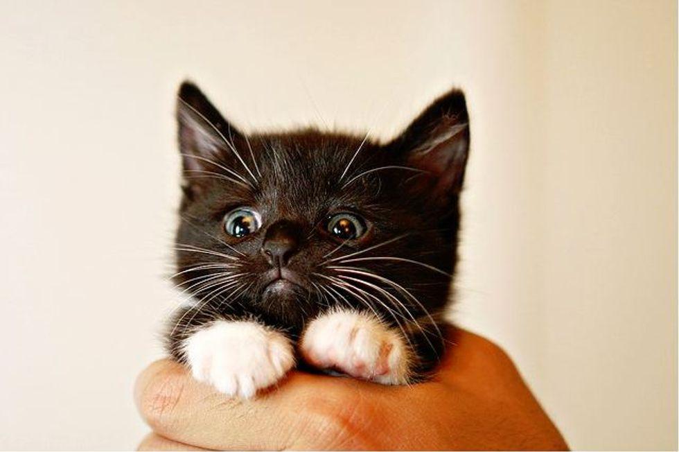 Oreo, the Kitten with Little Mittens