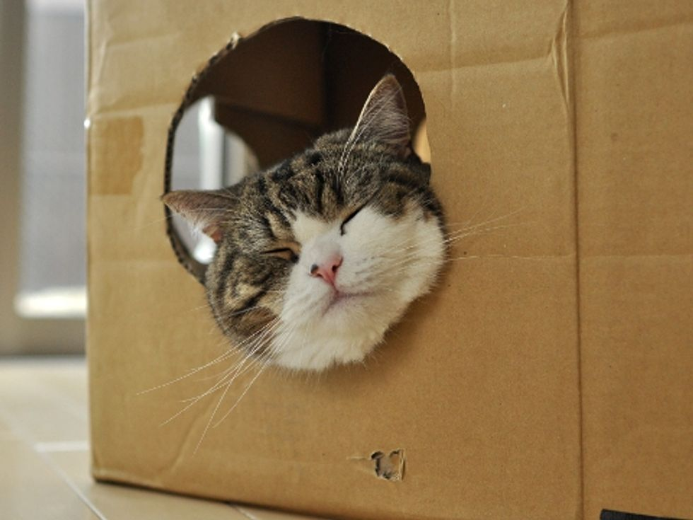 Maru the Cat Protects His Toy