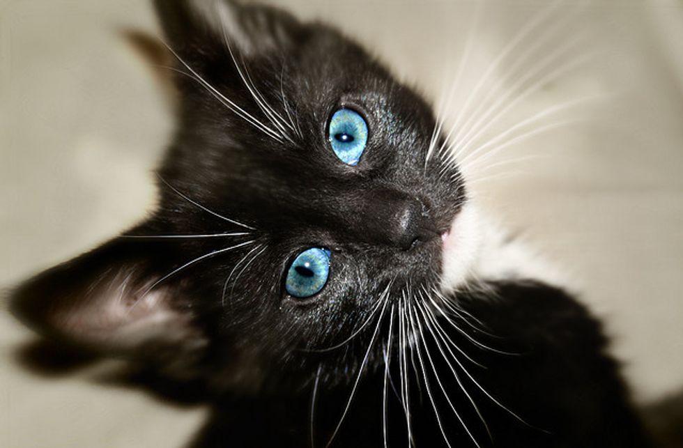 Billi the Tuxedo Kitten