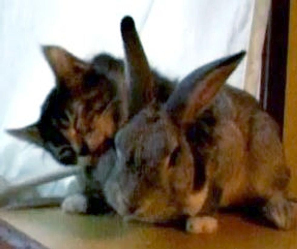 Cute Kitten Loves Her Bunny