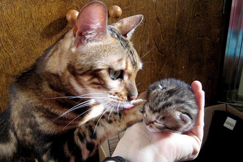 Rescued Bengal Mama and Son