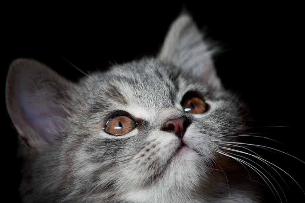 Tessa the Diva Kitty