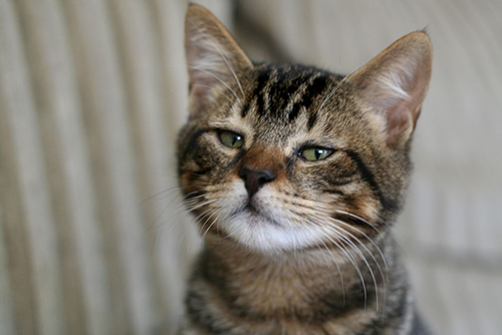 Mohsen the Playful Rescued Tabby