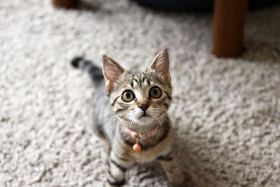 Little Feisty Rescued Tabby and Her Many Antics