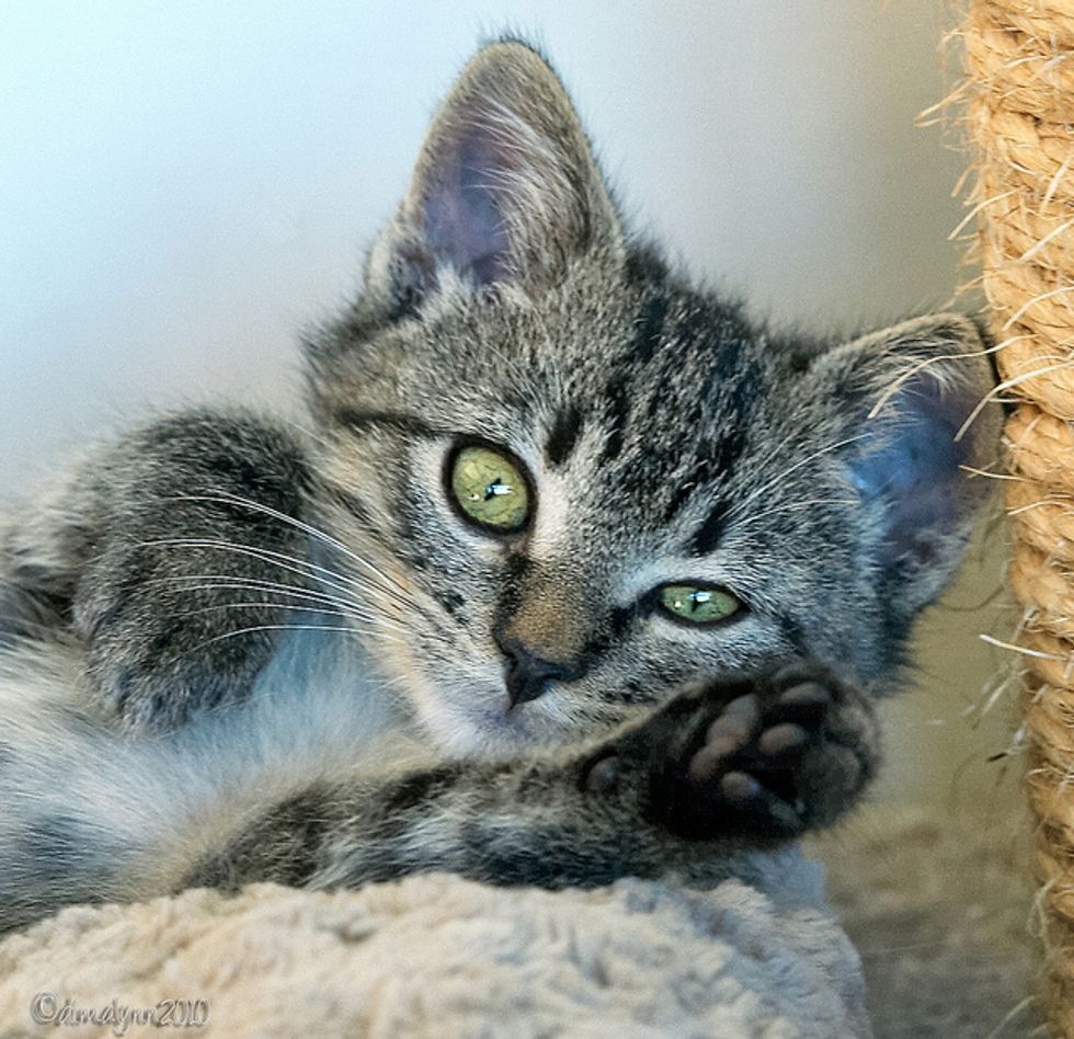 Nicolai the Dangerously Cute Rescued Kitten
