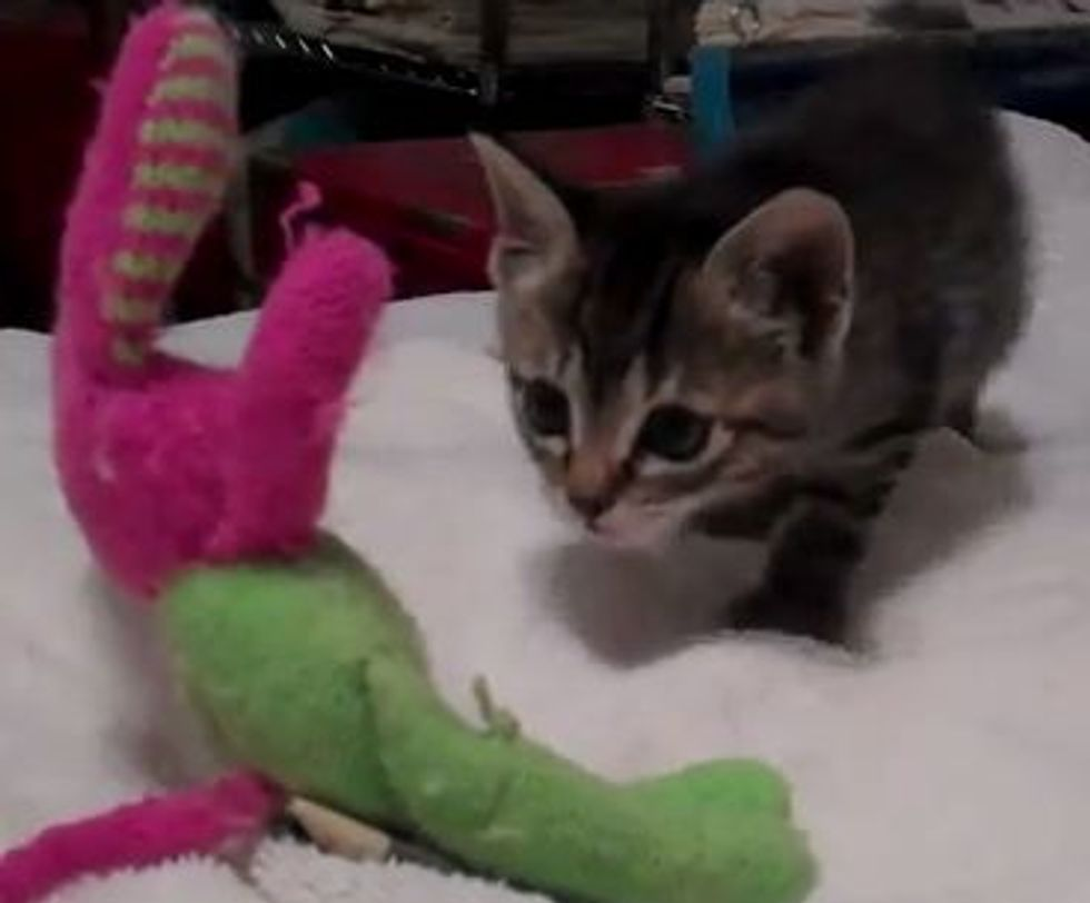 Kitten Meets Bunny the Toy