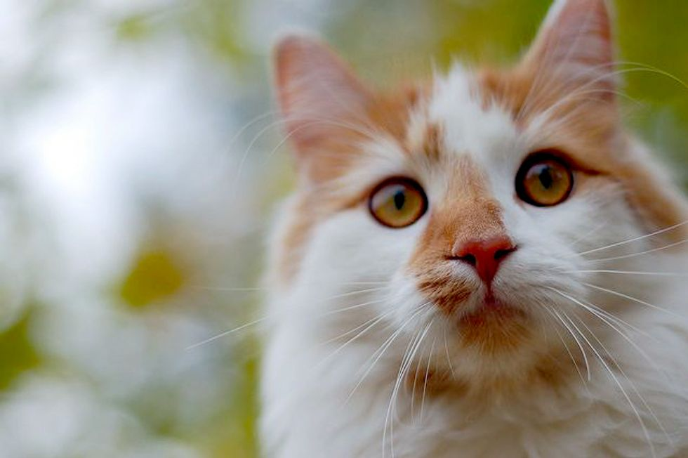 Steve the Ginger and White Cutie