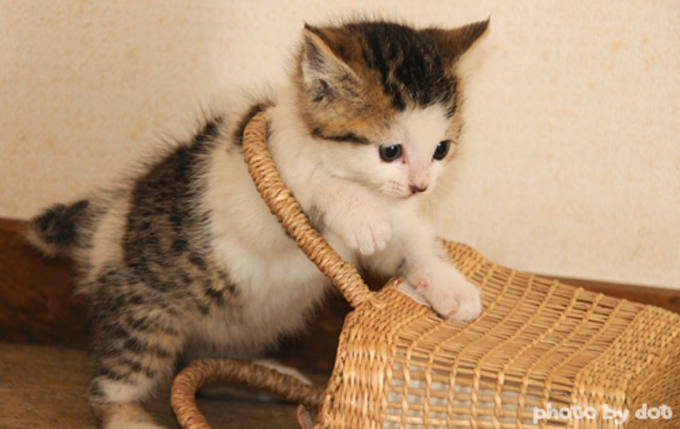 Kitten Plays with Basket