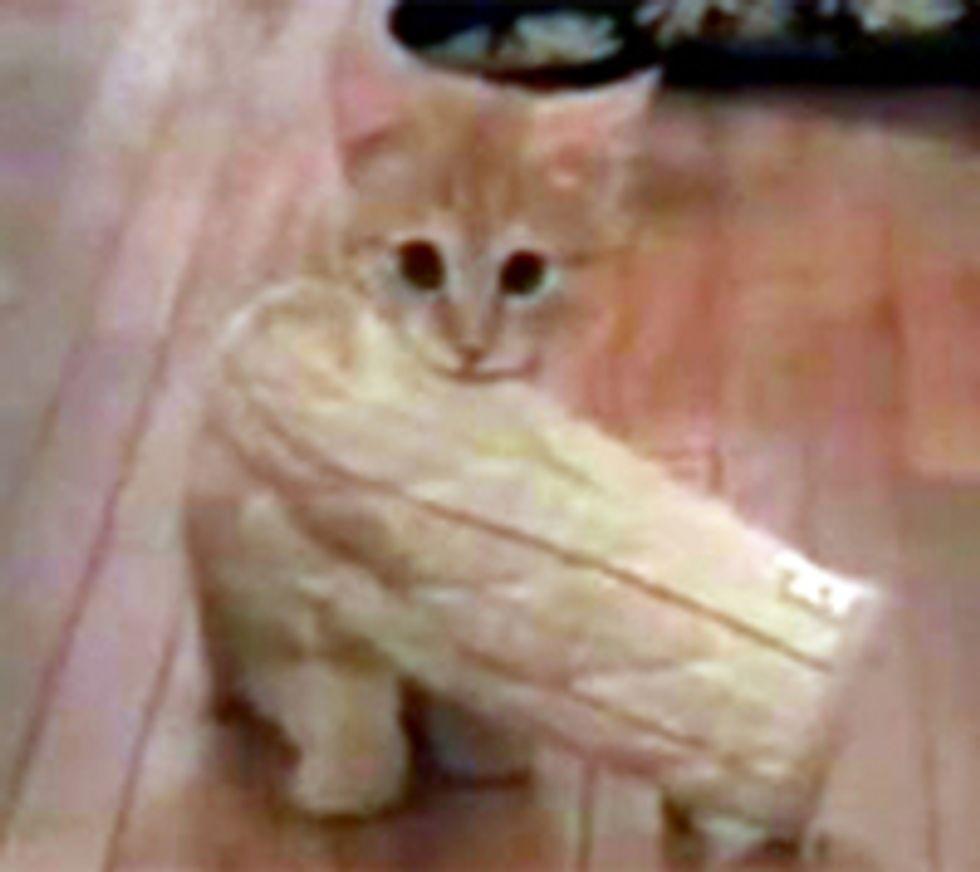 Kitten Fetches Oven Mitt