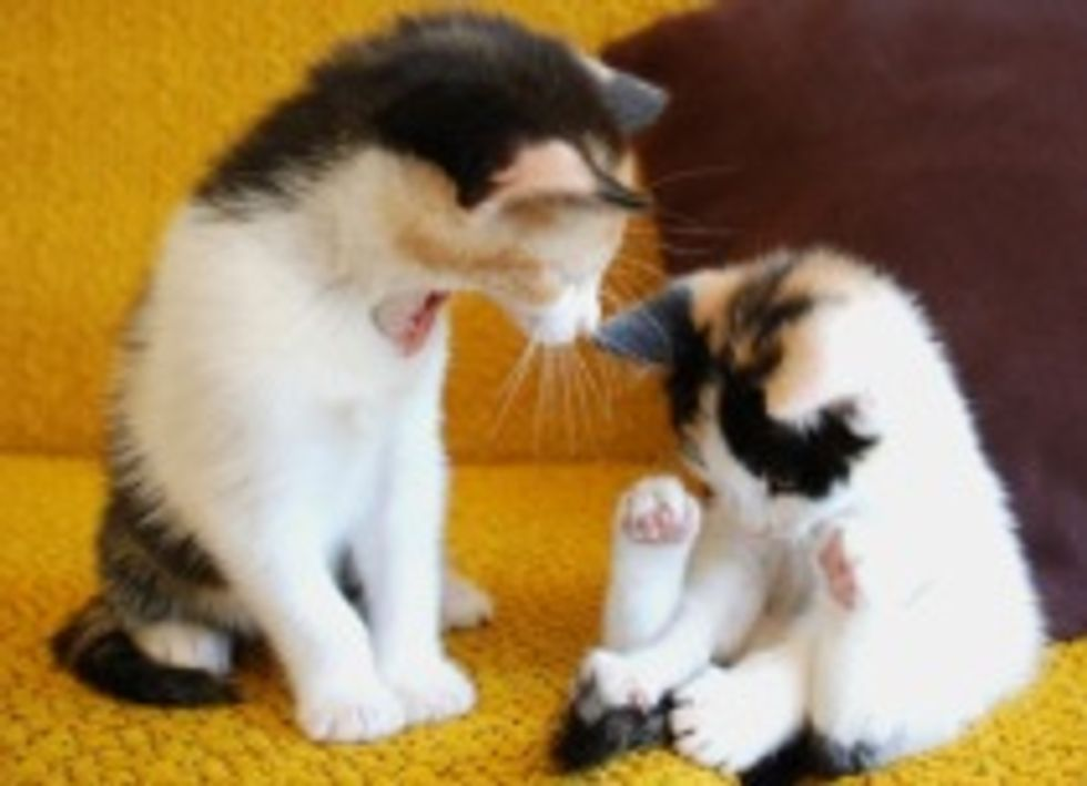 Coco and Peanut: Sweet Calico Sisters