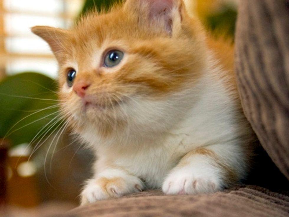 Sinas the New Kitten