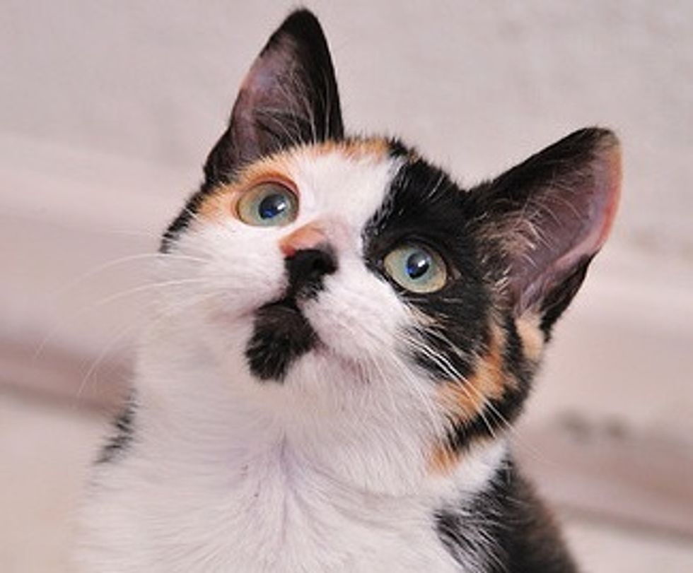 Flirt the Calico Born Feral but a Love Bug at Heart