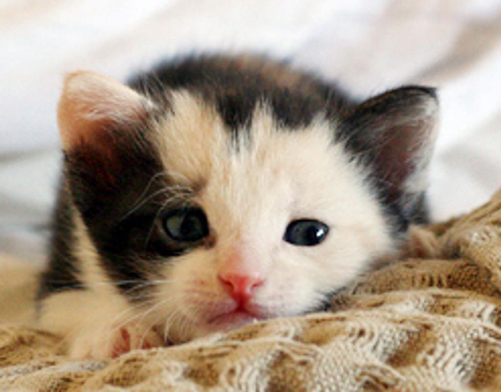 Kitten with an Angelic Face