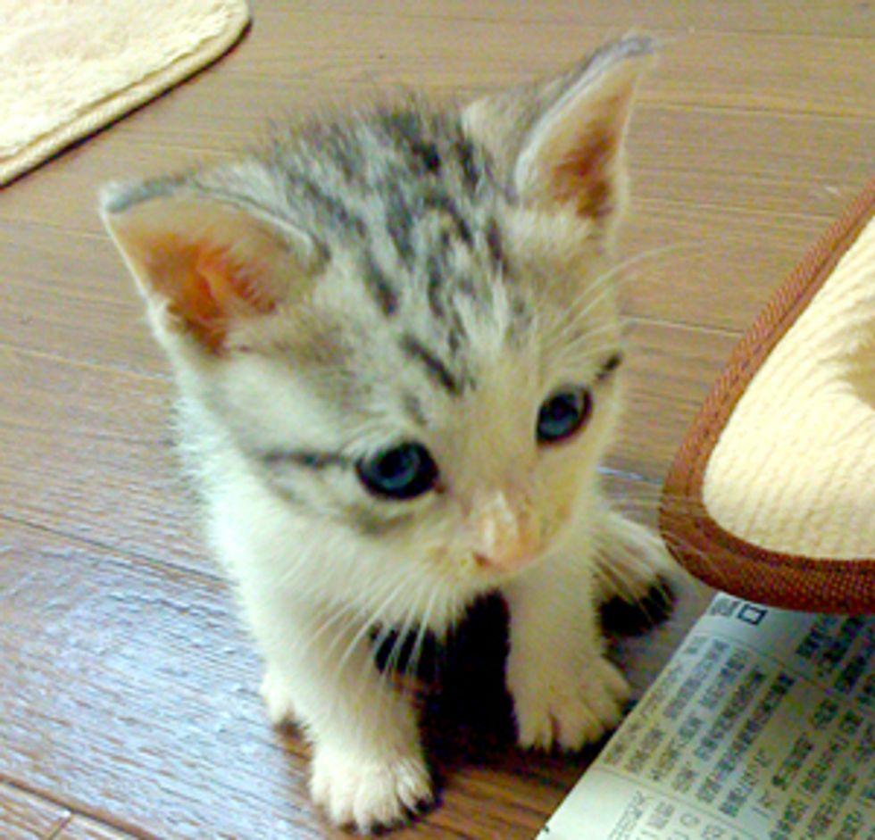 Feisty Kitten Fights Foot Monsters