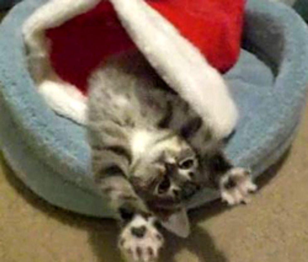 Little Christmas Kitten