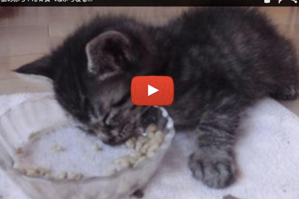Kitten Falls Asleep While Eating