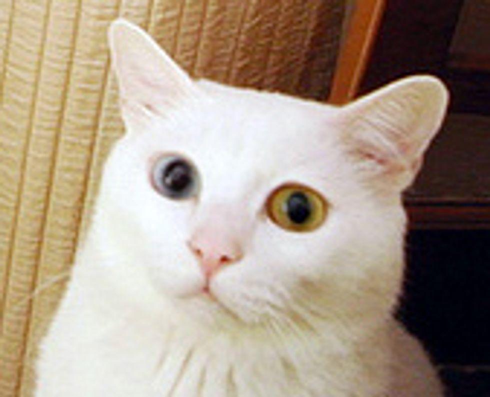 White the Beautiful Deaf Kitty