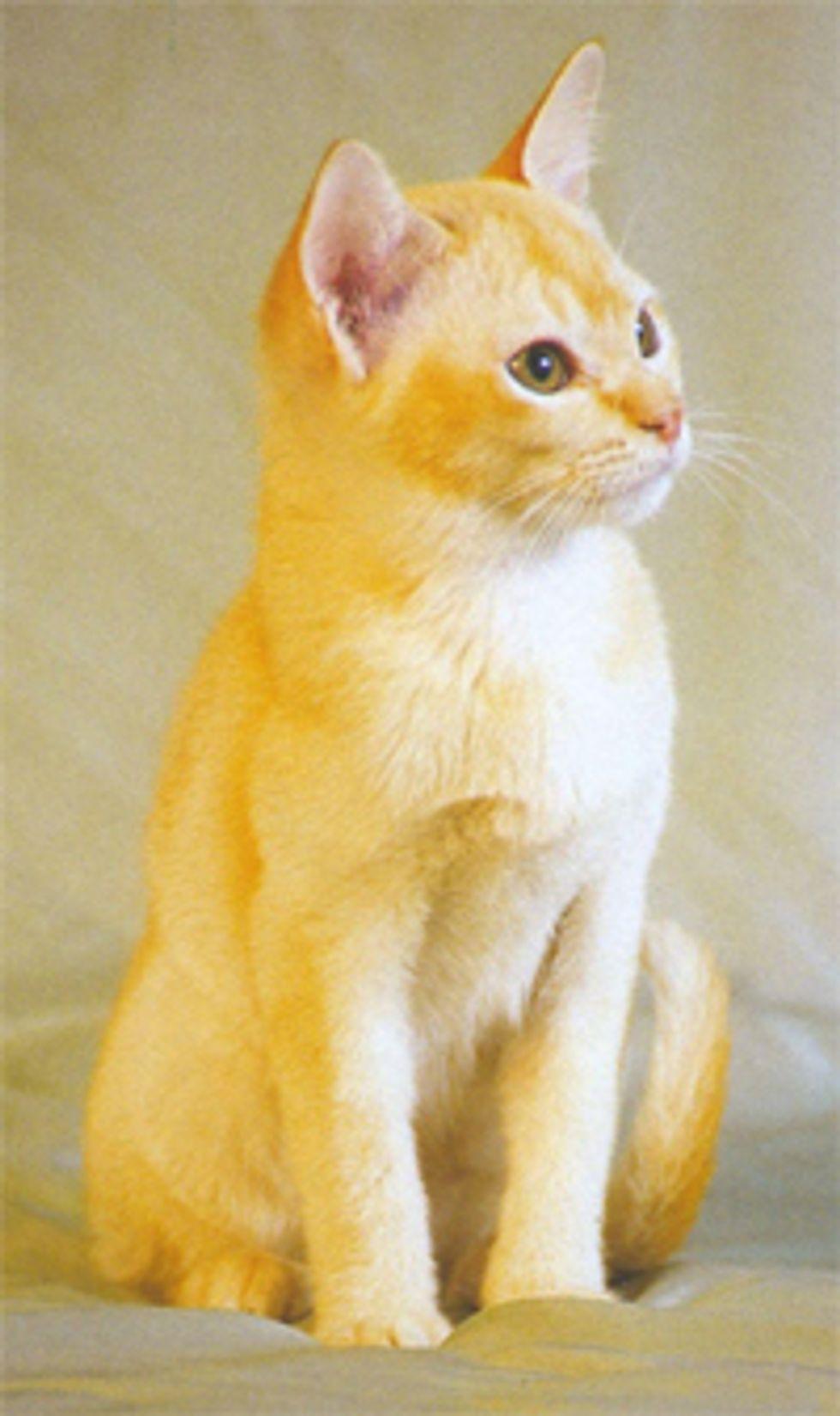Feline Infectious Peritonitis FIP, Deadly Cat Virus