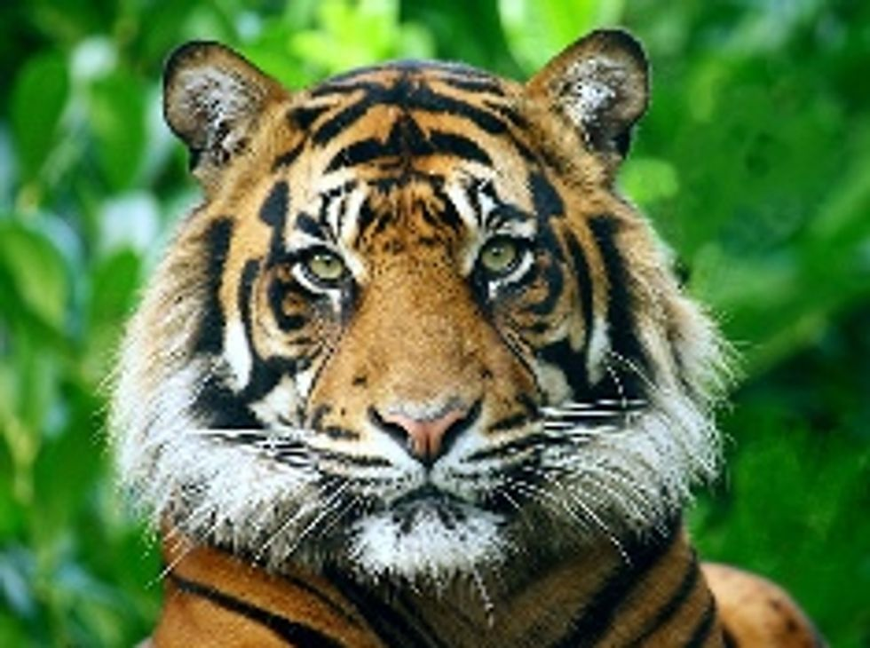 Michael Jackson's Tigers Threatened by Wildfire