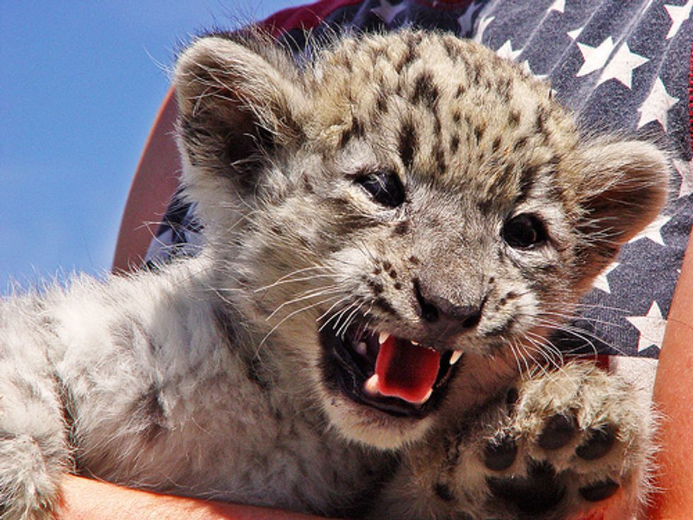 Number of Snow Leopards is Dwindling