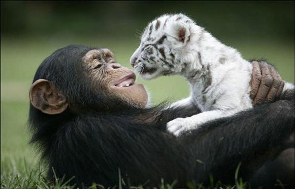 Anjana Chimp Raising Baby White Tigers