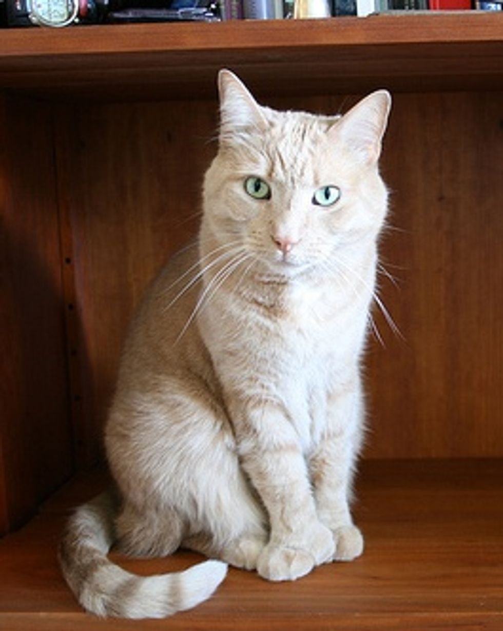 Cat with 6 or 7 Toes, Polydactyl Cat