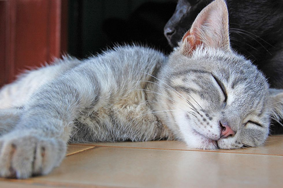 The Semi-Final Begins! Cat Sleeping Pose Photo Contest!
