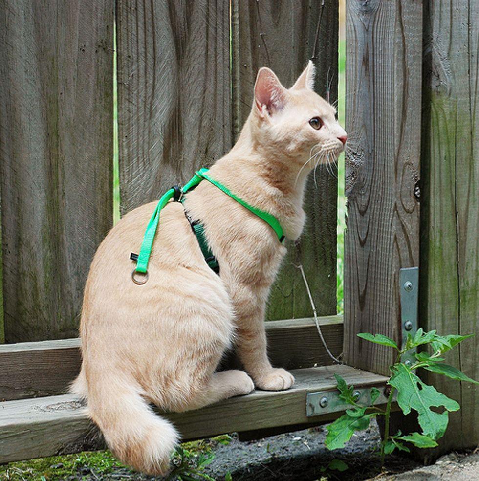 The Manx Cat
