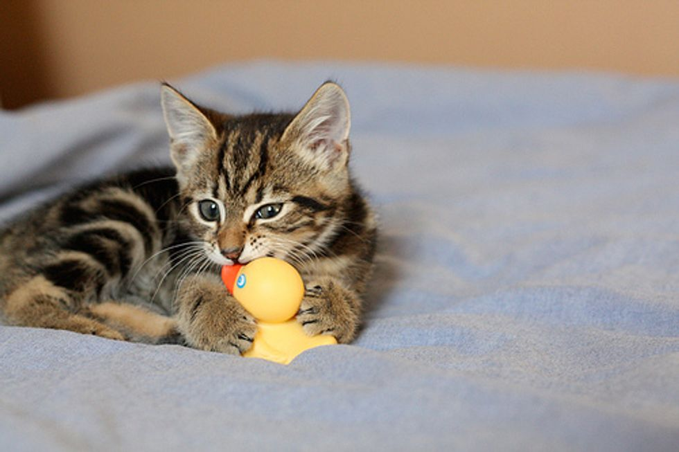 Video: Kitten Ambushes Stuffed Animal