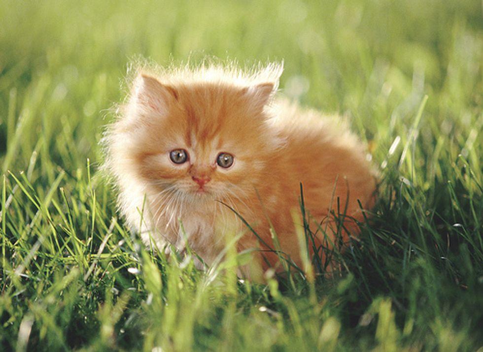 Siamese Cat Steals Food Video