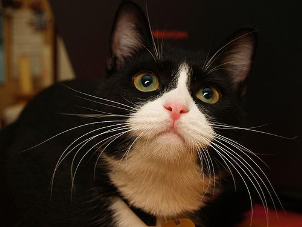 Tuxedo Kittens Twin Cat Video